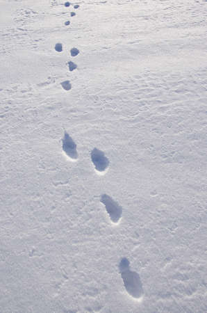 European hare trace on winter snow photo