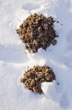 two new molehills in the garden on winter snow Stock Photo - 12184327