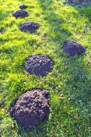 new molehills on  autumn garden grass