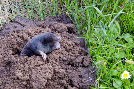 molehill: spirng mole  and molehill in the garden Stock Photo