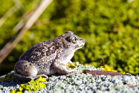 frog Pelobates fuscus on the stone in springtime