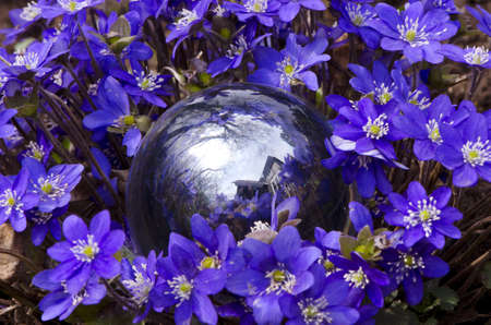 glass ball and early spring violet flowers photo