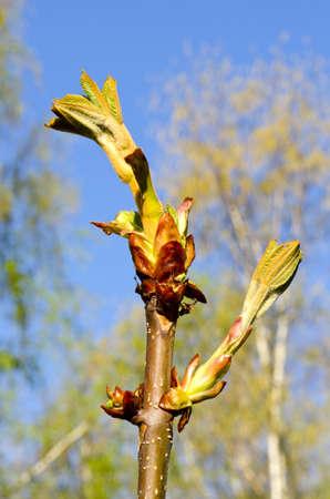 conker: spring conker fresh buds Stock Photo