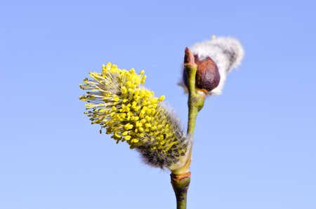 cetrino: la primavera p�lida co�o-sauce y el cielo