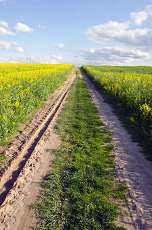 farm road in the spring yellow rapes field photo