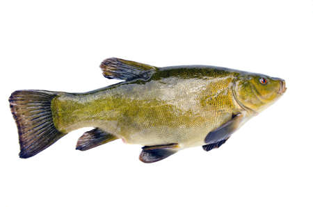 tinca tinca: isolated on white background big tench after fishing