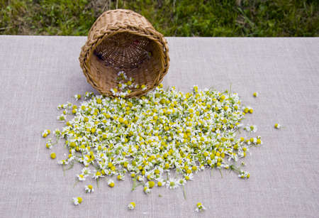 fresh summer camomile blossoms on linen cloth photo