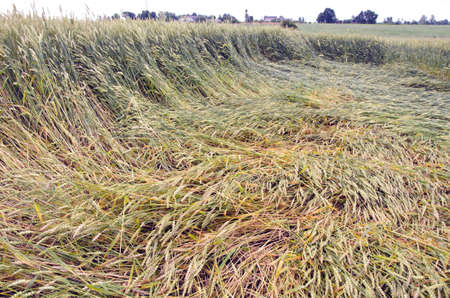 flatten: flatten crop field after summer storm Stock Photo