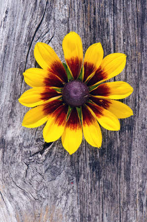 one rudbeckia flower on old wooden board background Stock Photo - 14789386