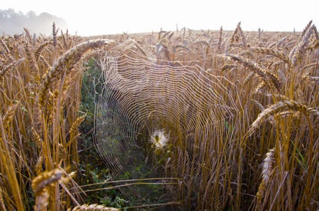 autumn crop fields with morning dewy spider-web and mist photo