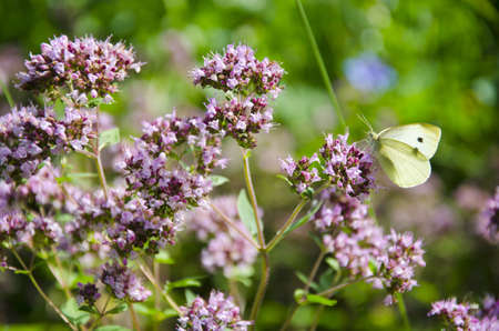 wild marjoram: summer wild marjoram blossoms in garden and butterfly