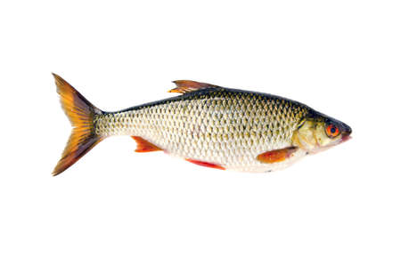 isolated on white background  fresh fish roach Stock Photo
