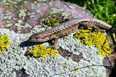 lacerta: animal lizard (Lacerta vivipara) on stone with lichens