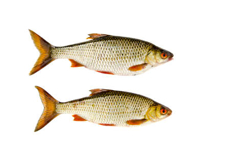 rutilus: isolated on white background two roach fishes