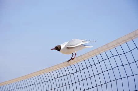 volleyball net: seagull (Larus ridibundus) on volleyball net in resort Stock Photo