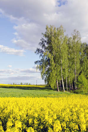 rapeoil: rural landscape with birches and yellow rapes field