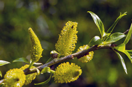 spring willow branck with yellow blossoming catkins Stock Photo - 16133897