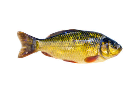 fish crucian carp (Carassius carassius) isolated on white background Stock Photo - 16133811