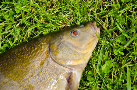 big tench head and eye on summer grass after fishing Stock Photo - 16133497