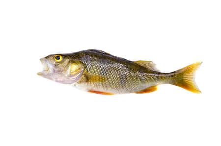 perca: perch (Perca fluviatilis) fish isolated on white background Stock Photo