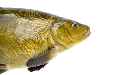 tinca tinca: big tench fish  head isolated on white