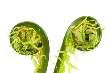 bionics: two spring young fern buds spirals isolated on white background Stock Photo