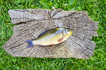 fish crucian carp (Carassius carassius) on old wooden background Stock Photo - 17849062