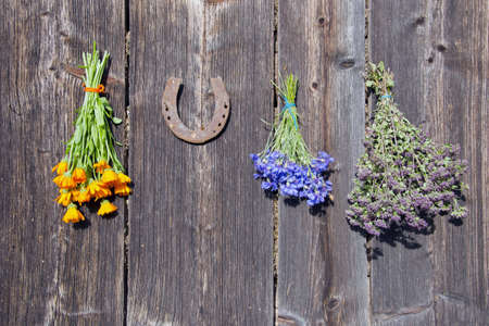 healing plant: medical herbs bunch on old wooden barn wall and rusty horseshoe