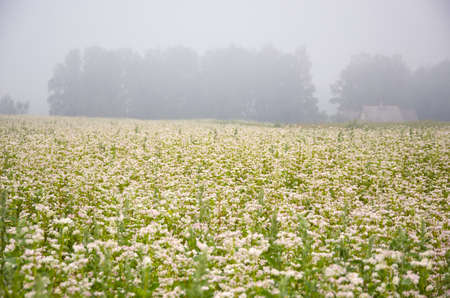 blossoming buckwheat field and summer early  morning fog photo