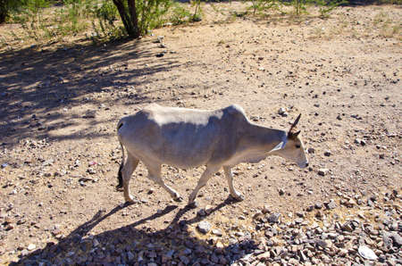 india cow: one sacred cow in Rajasthan, India