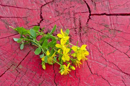 Common St. Johnswort medical flower ( tutsan ) on red wooden background Stockfoto