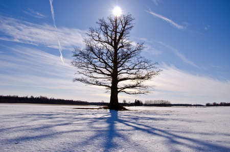 old and lonely oak tree on snow field in winter and sunlight photo