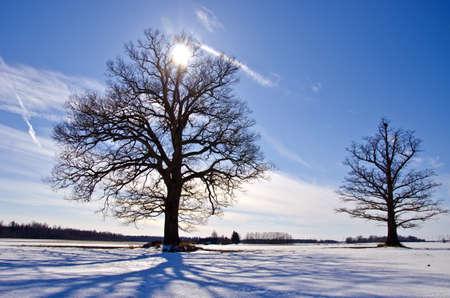two  oak tree on snow field in winter and sunlight photo