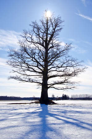 one oak on snowy winter field and blue shadow photo