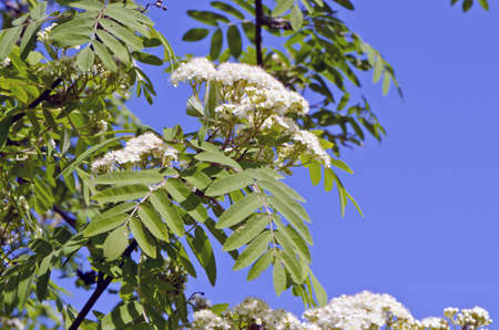 sorbus aucuparia: white rowan (Sorbus aucuparia) spring bloossoms on sky background