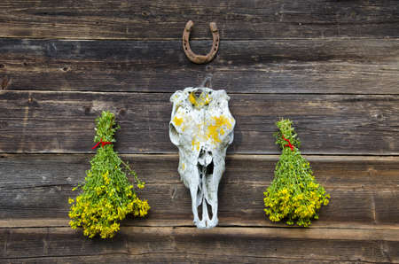 cranium: fresh medical herbs tutsan bunches and horse cranium with horseshoe on old wooden farm wall