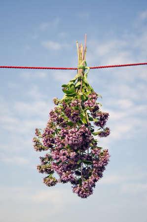 wild marjoram: fresh wild marjoram bunch on clothes string and sky background.Oregano herb