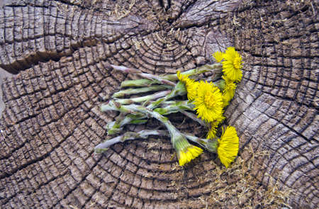 fresh spring coltsfoot(Tusisilago farfara) medical flowers on old wooden background photo