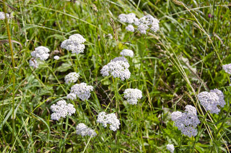 staunch: medical herb Common Yarrow (Achillea Millefolium) in bloom.Natural meadow Stock Photo