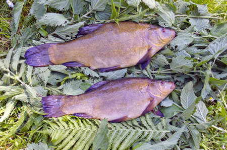 two fresh big tench after summer fishing on nettle grass Stock Photo - 21062494