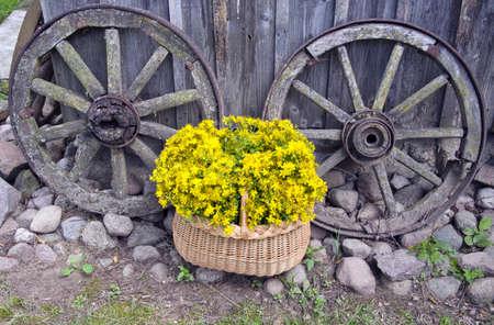 St John?s wort medical flowers in basket and old carriage wheels.Tutsan herbal medicine 版權商用圖片