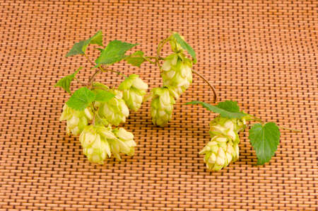 hop plant: fresh green hop plant branch with cones on wooden background Stock Photo