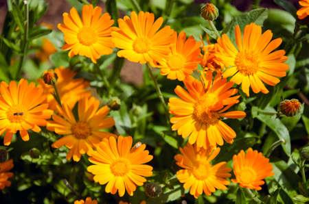 calendula medical herb Marigold flowers in summer meadow
