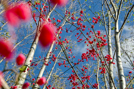 beautiful red fruit berry European spindle (Euonymus europaeus) in autumn forest photo