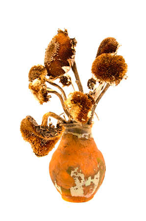 yesteryear: ancient aged clay jug with old dry yesteryear sunflower heads. Still-life isolated on white Stock Photo