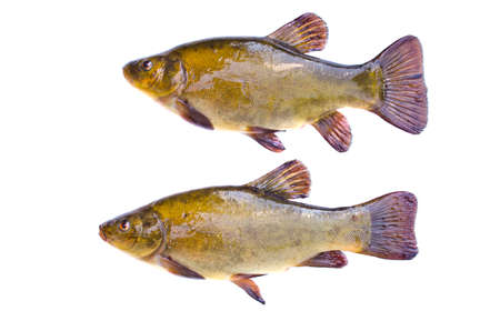tinca tinca: Two big tench  fish after fishing isolated on white . Raw food