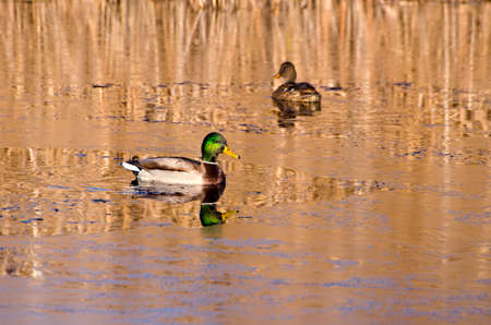 mated: pair duck mallard (Anas platyrynchos) on autumn lake water and first ice
