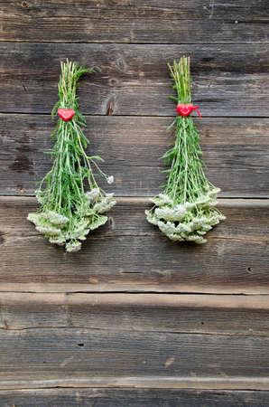 two fresh Yarrow Achilea millefolium medical herb bunch on wall and red heart symbol photo