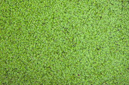 Duckweed covered green nature background on the water surface  photo