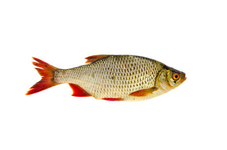 scardinius: fresh rudd (Scardinius erythrophthalmus) fish isolated on white background